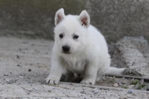 White-German-Shepherd-Puppies-002