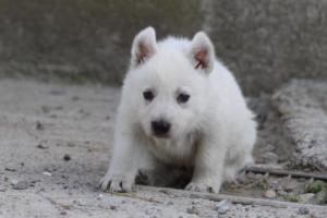 White-German-Shepherd-Puppies-003