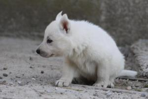 White-German-Shepherd-Puppies-004