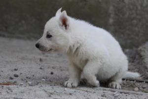 White-German-Shepherd-Puppies-005