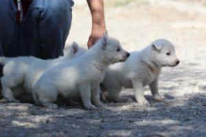 White-German-Shepherd-Puppies-006