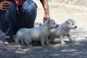 White-German-Shepherd-Puppies-007