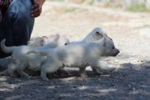 White-German-Shepherd-Puppies-008