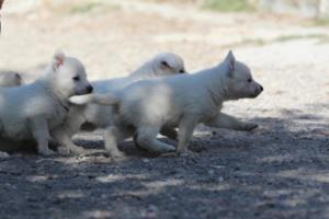 White-German-Shepherd-Puppies-009