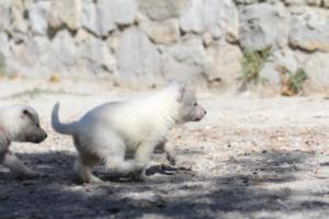 White-German-Shepherd-Puppies-010