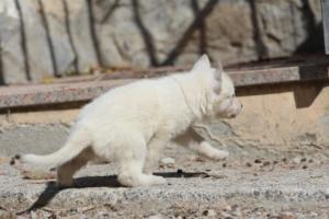 White-German-Shepherd-Puppies-012