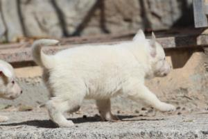 White-German-Shepherd-Puppies-013