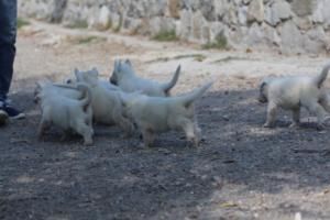 White-German-Shepherd-Puppies-014