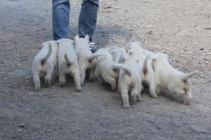White-German-Shepherd-Puppies-016