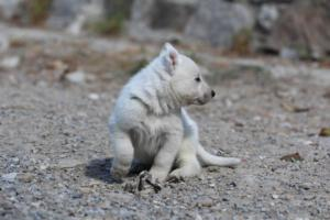 White-German-Shepherd-Puppies-017