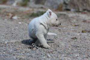 White-German-Shepherd-Puppies-018