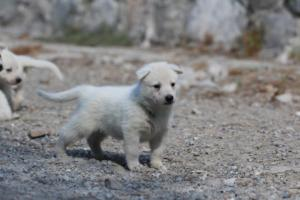 White-German-Shepherd-Puppies-020