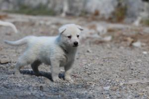White-German-Shepherd-Puppies-021