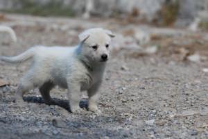 White-German-Shepherd-Puppies-022