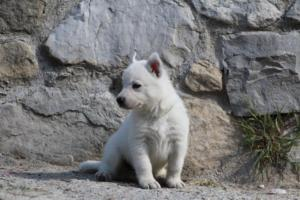 White-German-Shepherd-Puppies-023