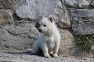 White-German-Shepherd-Puppies-024