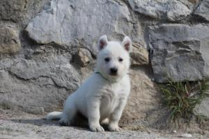 White-German-Shepherd-Puppies-025