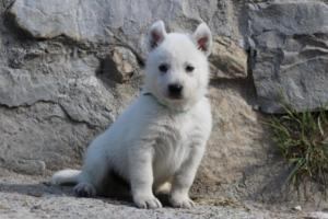 White-German-Shepherd-Puppies-026