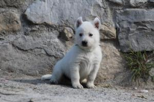 White-German-Shepherd-Puppies-028
