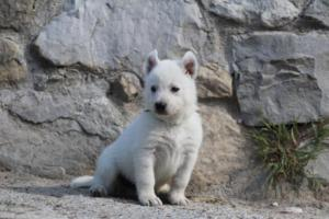 White-German-Shepherd-Puppies-030