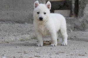 White-German-Shepherd-Puppies-033