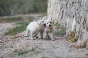 White-Shepherd-Puppies-BTWW-Sparta-001