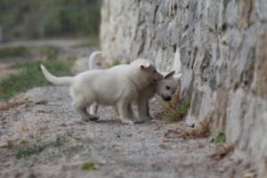 White-Shepherd-Puppies-BTWW-Sparta-002
