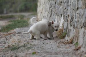 White-Shepherd-Puppies-BTWW-Sparta-003