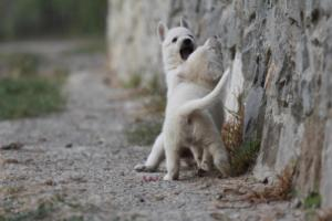 White-Shepherd-Puppies-BTWW-Sparta-004