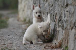 White-Shepherd-Puppies-BTWW-Sparta-005