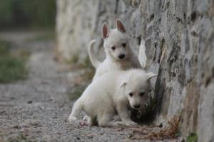 White-Shepherd-Puppies-BTWW-Sparta-006