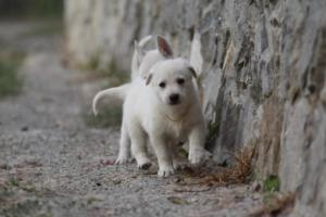 White-Shepherd-Puppies-BTWW-Sparta-007