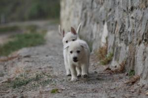 White-Shepherd-Puppies-BTWW-Sparta-008