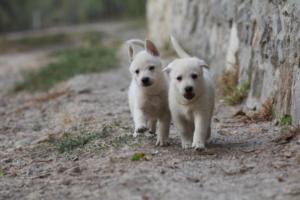 White-Shepherd-Puppies-BTWW-Sparta-009