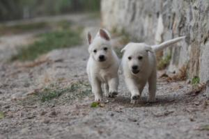 White-Shepherd-Puppies-BTWW-Sparta-010