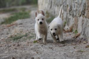 White-Shepherd-Puppies-BTWW-Sparta-011