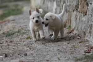 White-Shepherd-Puppies-BTWW-Sparta-012
