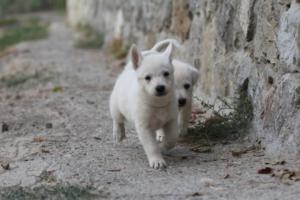 White-Shepherd-Puppies-BTWW-Sparta-013