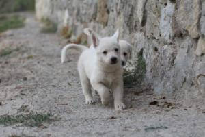 White-Shepherd-Puppies-BTWW-Sparta-014