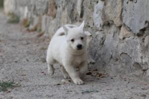White-Shepherd-Puppies-BTWW-Sparta-015