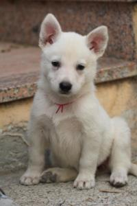 White-Shepherd-Puppies-BTWW-Sparta-022