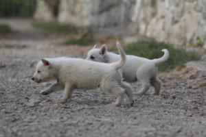 White-Shepherd-Puppies-BTWW-Sparta-025