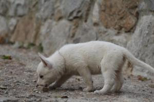White-Shepherd-Puppies-BTWW-Sparta-026