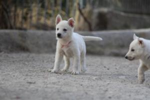 White-Shepherd-Puppies-BTWW-Sparta-027