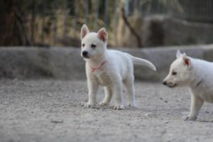 White-Shepherd-Puppies-BTWW-Sparta-028