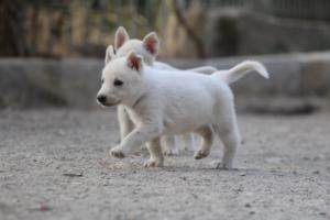 White-Shepherd-Puppies-BTWW-Sparta-029
