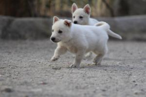 White-Shepherd-Puppies-BTWW-Sparta-030