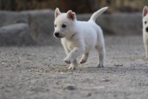 White-Shepherd-Puppies-BTWW-Sparta-031