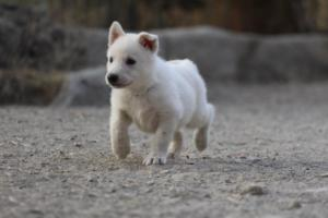 White-Shepherd-Puppies-BTWW-Sparta-032