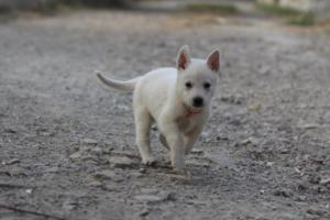 White-Shepherd-Puppies-BTWW-Sparta-033